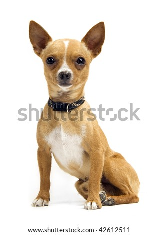 Chihuahua isolated on white - stock photo