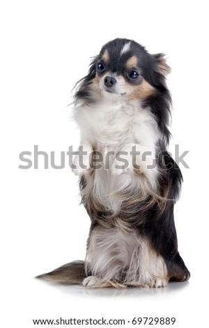 Chihuahua isolated on white background - stock photo