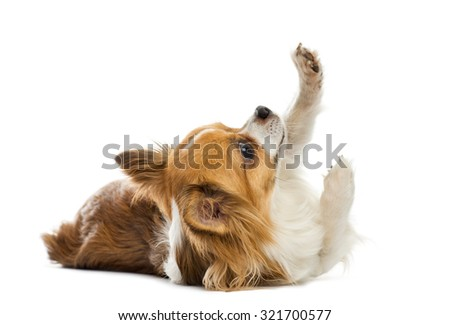 Chihuahua lying in front of a white background - stock photo