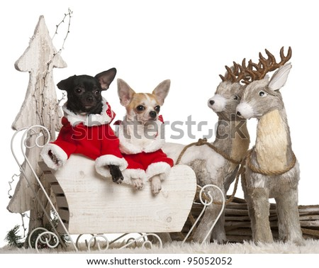 Chihuahua, 7 months old, and Chihuahua, 8 months old, in Christmas sleigh in front of white background - stock photo