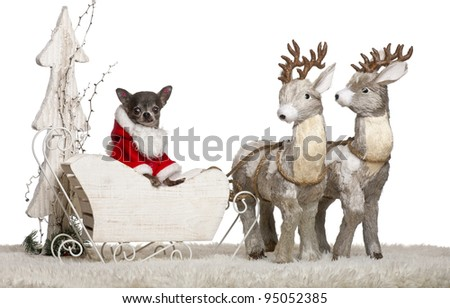 Chihuahua, 8 months old, in Christmas sleigh in front of white background - stock photo