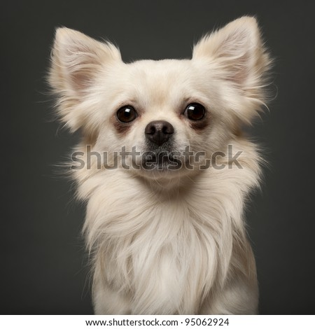 Chihuahua, 18 months old, in front of white background - stock photo