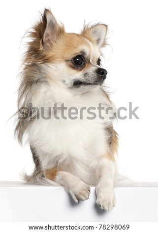 Chihuahua, 18 months old, sitting in front of white background - stock photo
