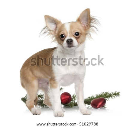 Chihuahua, 7 months old, standing with Christmas decorations in front of white background - stock photo