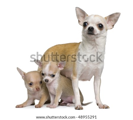 Chihuahua mother and her 2 puppies, 8 weeks old, in front of white background - stock photo
