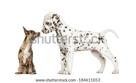 Chihuahua Pinscher sitting and dalmatian puppy sniffing each other - stock photo