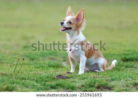 Chihuahua playing happily in the grass - stock photo
