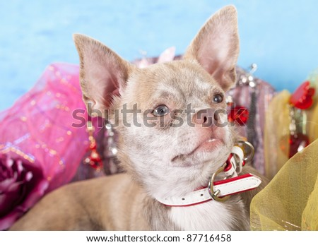 Chihuahua portrait - stock photo
