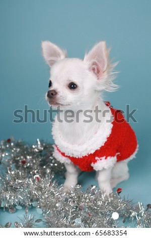 Chihuahua pup playing with xmas decoration colored background - stock photo