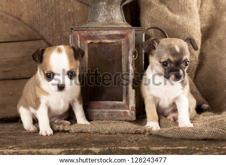 Chihuahua puppies in retro background - stock photo