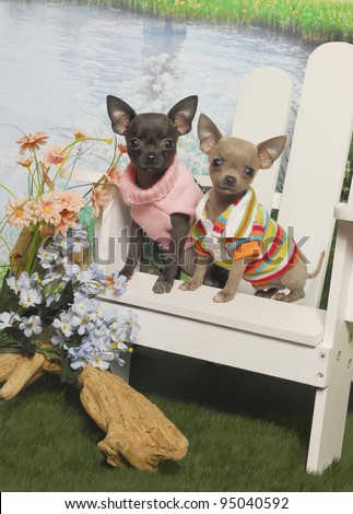 Chihuahua Puppies Sitting in a white Adirondack Chair by a Pond - stock photo