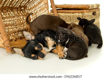 Chihuahua puppies sucking milk from mother - stock photo