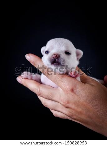 Chihuahua puppy - stock photo