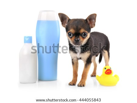 Chihuahua puppy and shampoo bottle isolated on white - stock photo