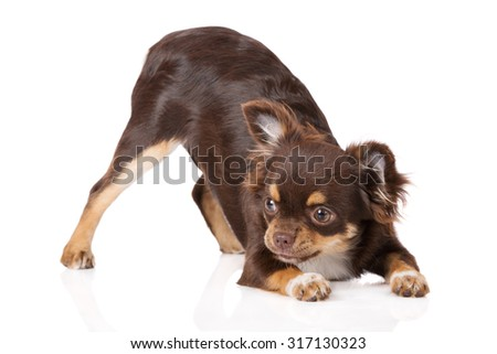 chihuahua puppy bowing down on white - stock photo