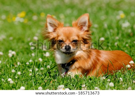 Chihuahua puppy dog resting on green grass - stock photo