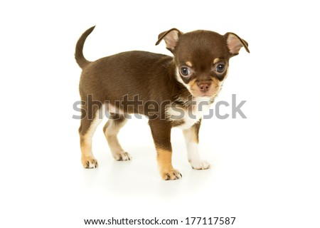 Chihuahua puppy dog stands - stock photo