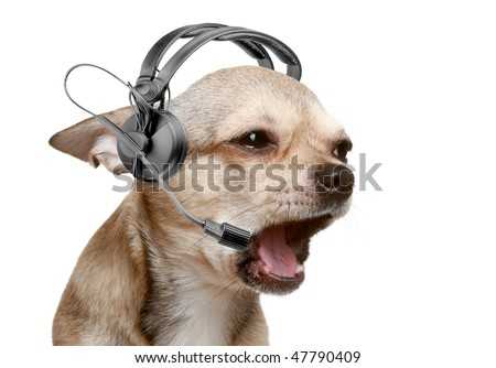 Chihuahua puppy friendly telephone operator. isolated - stock photo