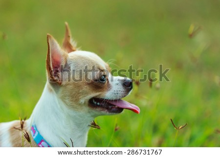 Chihuahua puppy gloss on the lawn. - stock photo