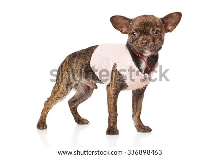 Chihuahua puppy in fashionable clothes on white background - stock photo