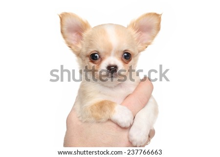 Chihuahua puppy in hand on white background - stock photo