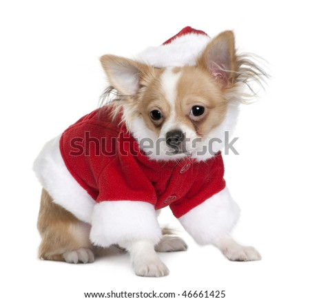 Chihuahua puppy in Santa Claus suit, 7 months old, standing in front of white background - stock photo