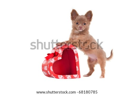 Chihuahua puppy is playing with red heart shaped present box isolated on white background - stock photo