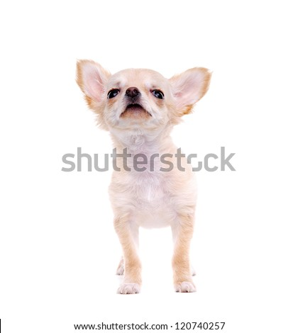 Chihuahua puppy looking to the copy space area - stock photo