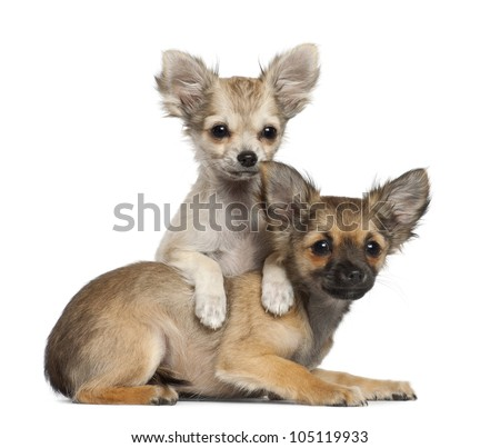 Chihuahua puppy, 3 months old, lying against white background - stock photo