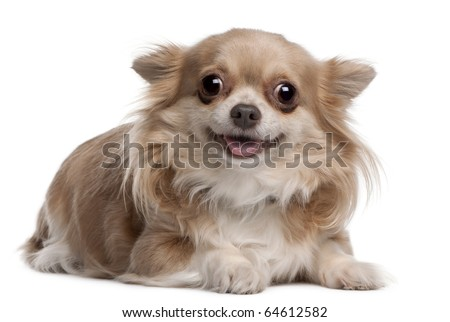 Chihuahua puppy, 6 months old, lying in front of white background - stock photo