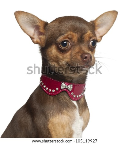 Chihuahua puppy, 6 months old, sitting against white background - stock photo