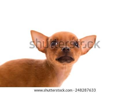 Chihuahua puppy pet dog doggy portrait on white background - stock photo