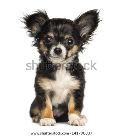 Chihuahua puppy sitting, looking at the camera, 3 months old, isolated on white - stock photo