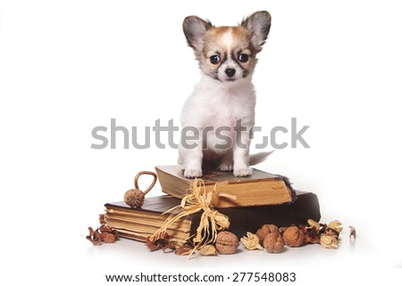 Chihuahua puppy sitting on books and looking at the camera (isolated on white) - stock photo