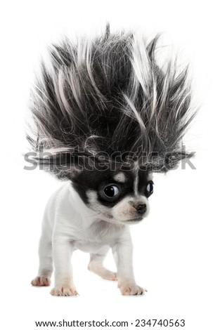 Chihuahua puppy small dog with crazy troll hair - stock photo