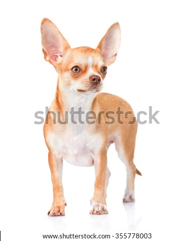Chihuahua puppy standing in front view. isolated on white background - stock photo