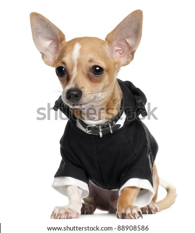 Chihuahua Puppy wearing black hoodie, 5 months old, sitting in front of white background - stock photo
