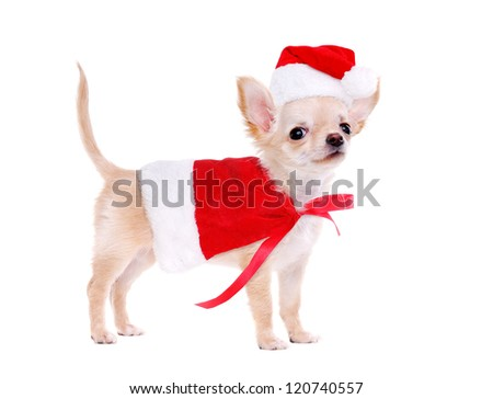 Chihuahua puppy wearing christmas fancy dress standing on white background - stock photo