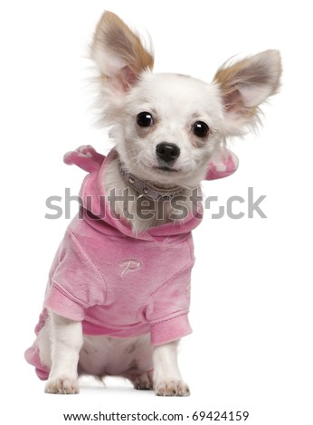 Chihuahua puppy wearing pink, 5 months old, sitting in front of white background - stock photo