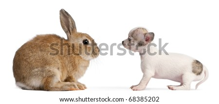 Chihuahua puppy, 10 weeks old, and rabbit in front of white background - stock photo