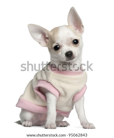 Chihuahua puppy, 11 weeks old, sitting in front of white background - stock photo