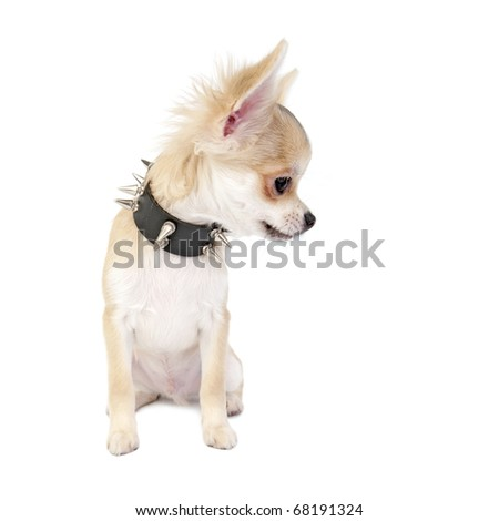 Chihuahua puppy with black leather studded collar looking to right isolated on white background - stock photo