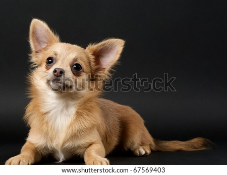 Chihuahua red-haired on black background - stock photo