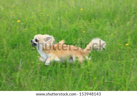 Chihuahua running fast in grass, blurred motion - stock photo