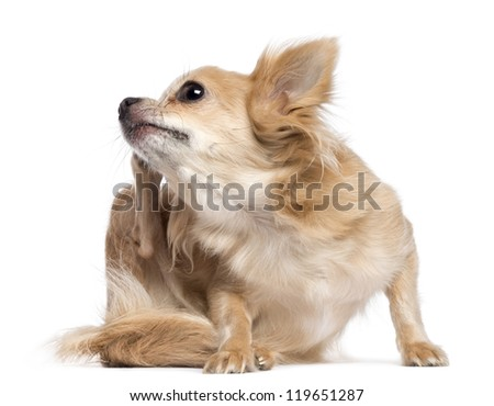 Chihuahua scratching against white background - stock photo