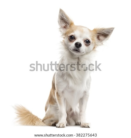 Chihuahua sitting and looking at the camera, isolated on white (2 years old) - stock photo