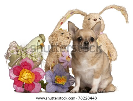 Chihuahua sitting with Easter stuffed animals in front of white background - stock photo