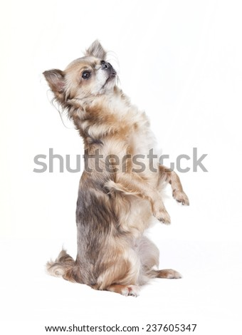chihuahua sitting with little paws in the air, white background - stock photo