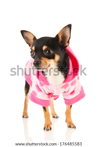 Chihuahua standing in pink sweater isolated over white background - stock photo