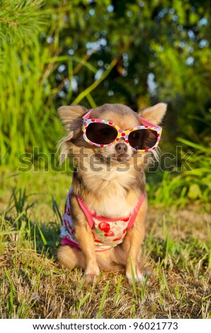 Chihuahua wearing sunglasses and t-shirt in the park - stock photo